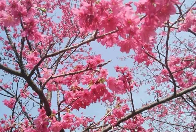 樱花徒步节