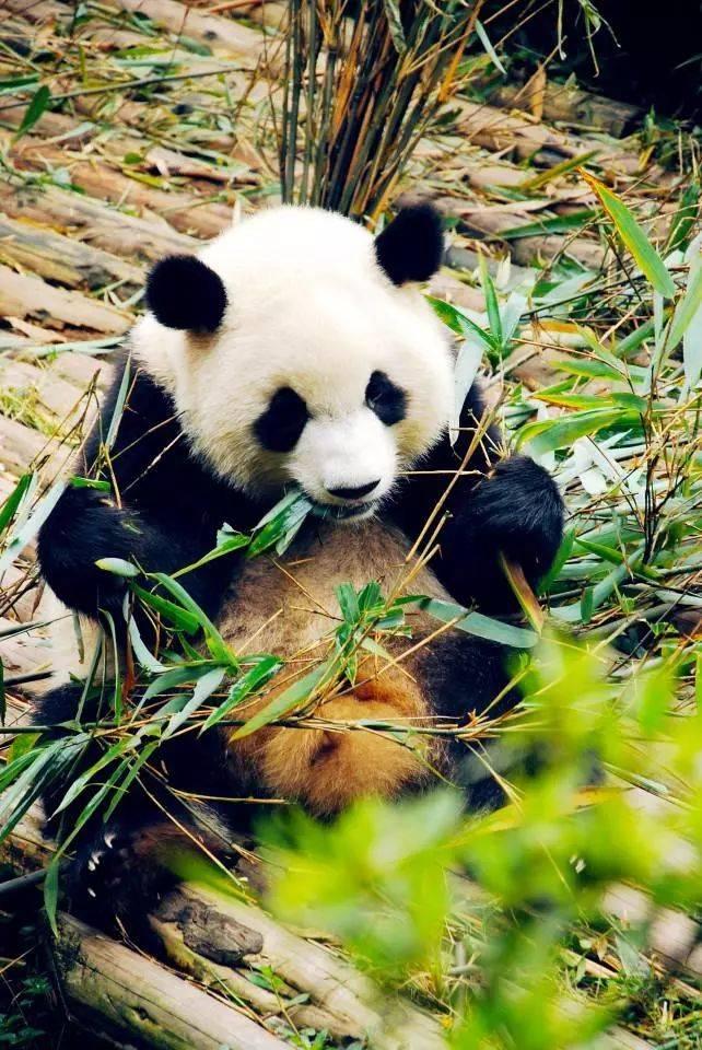 五五户外_【寒假去哪儿】四川看大熊猫+毕棚沟玩雪亲子轻奢5日游,入住毕棚沟娜姆湖酒店