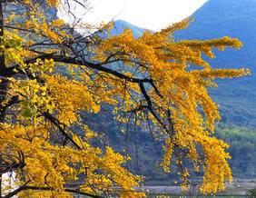 桂林漠川银杏